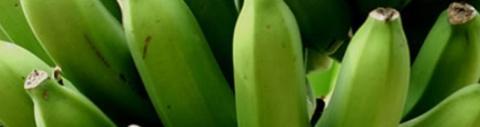 Emagrecer com Farinha de Banana Verde