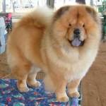 raca-de-cachorro-chow-chow-5