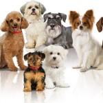 racas-de-cachorros-pequenas-8