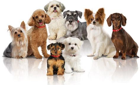 Raças de Cachorros Pequenas: Dicas e Fotos
