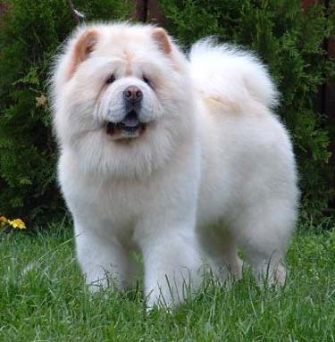 Raça de Cães Chow Chow: Informações, Fotos